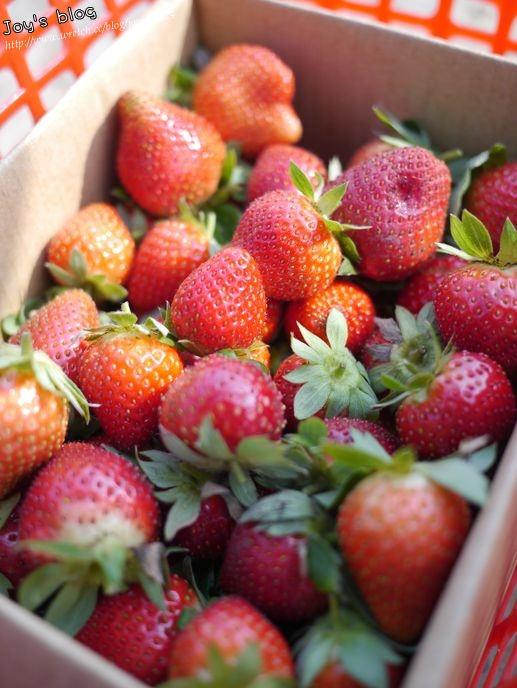 [生活]高雄也能享受摘草莓樂-松田觀光果園